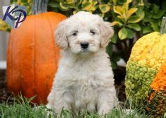 goldendoodle puppies for sale in louisville ky 1000 images about goldendoodles on
