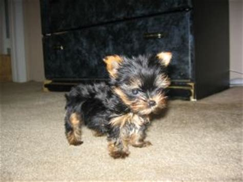 baby yorkies for sale in florida terrier puppies in florida
