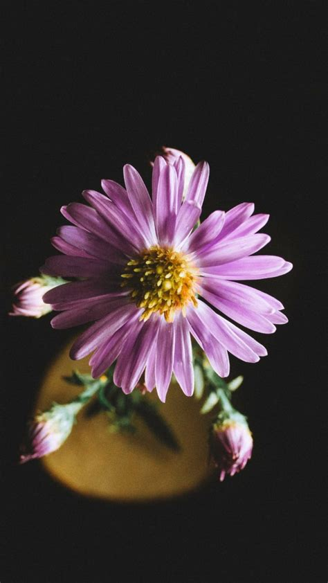 aster flower petals wallpaper