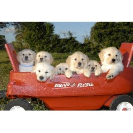 golden retriever breeders south florida shining goldens golden retriever breeder in loxahatchee florida
