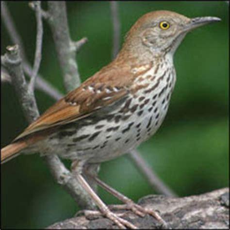 georgia state bird brown thrasher | state birds