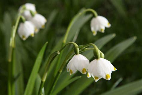 nomi di fiori primaverili i falsi bucaneve ovvero i canellini pollicegreen