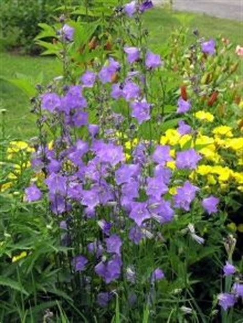10 ideas about border plants on pinterest perennials gardening and shrubs