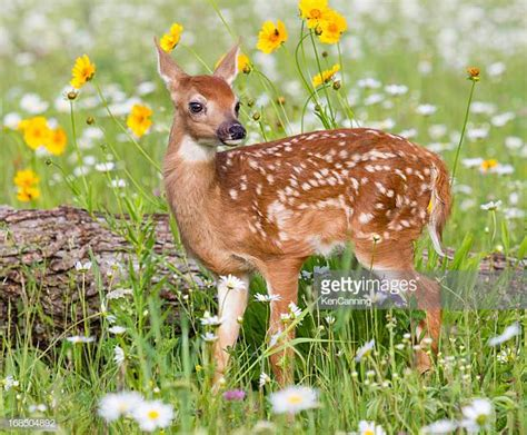 fawn images fawn stock photos and pictures getty images