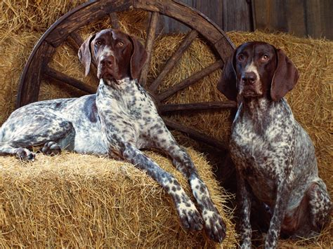bluetick coonhound in the hayloft photo and wallpaper beautiful bluetick coonhound in the