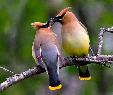 male and female cedar waxwing amazing animals