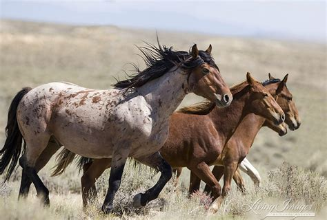 horses mustangs horses the blm s plan to study and spay white