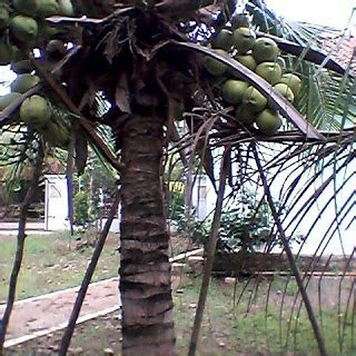 Harga Bibit Kelapa Kopyor Di Jogja jual bibit kelapa kopyor genjah harga cara budidaya