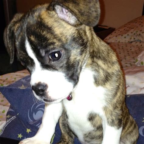 bulldog boston terrier mix puppies boston terrier bulldog mix dogs breeds picture