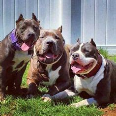 Apartments In Dc That Allow Pit Bulls 1000 Ideas About American Bullies On Rednose