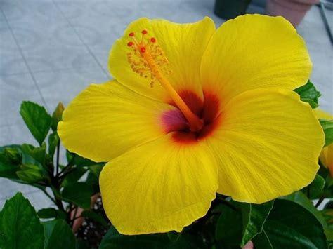 piante dai fiori gialli hibiscus piante perenni hibiscus