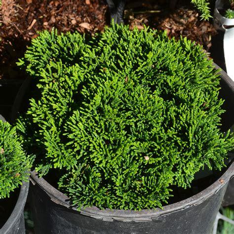 chamaecyparis obtusa butter ball  arts nursery