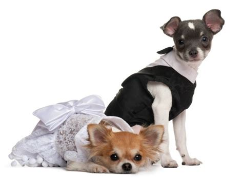 free pattern chihuahua clothes free dog clothing patterns thriftyfun