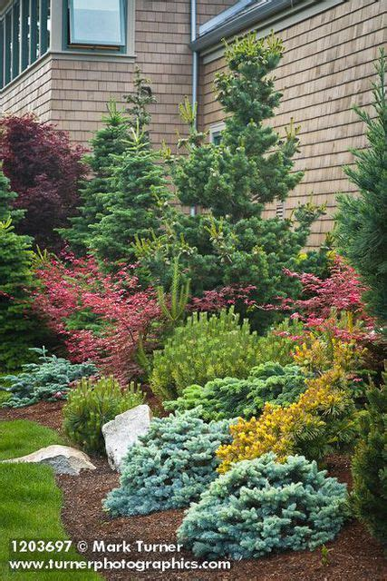 small conifers for landscaping close to house video