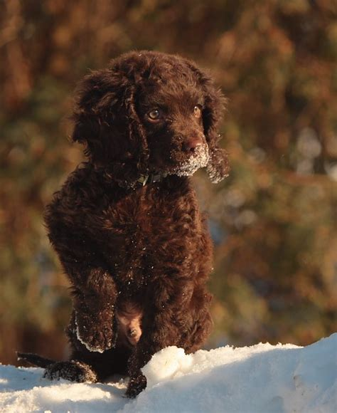 water spaniel puppies american water spaniel puppy someday