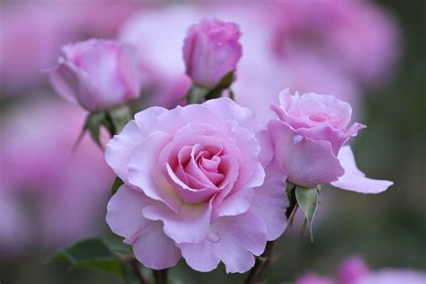 wallpaper rose flower beauty roses flowers garden love emotions romance nature love