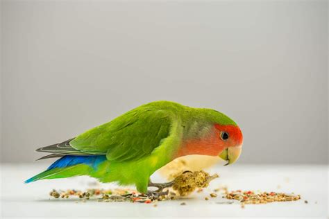 rosy faced lovebird for sale parrots breed information