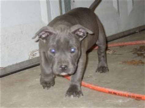 pitbull puppies for sale in ms puppies in mississippi
