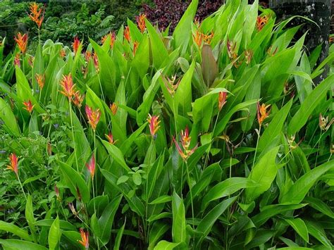 Flowers Bloom by Plantfiles Pictures Heliconia Parrot S Beak Heliconia
