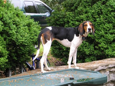 walker hound treeing walker coonhound photo and wallpaper beautiful treeing walker