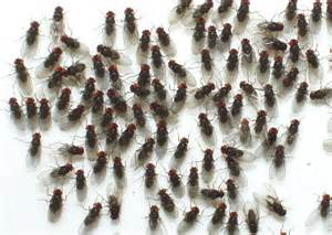 where do babies come from the obviously the fruit flies feeding tips
