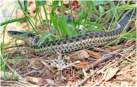 Garter Snake Habitat Common Garter Snake Photo Bob Moul Photos At Pbase