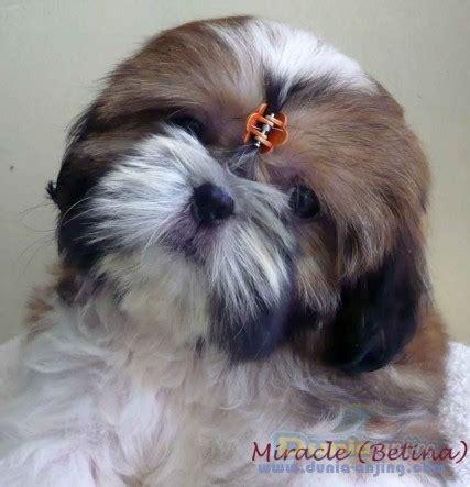 Pajangan Anjing Shin Tzu dunia anjing jual anjing shih tzu dijual 1 ekor shih tzu betina