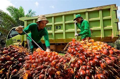 Minyak Kelapa Sawit Dunia indonesia penghasil minyak sawit terbesar dunia
