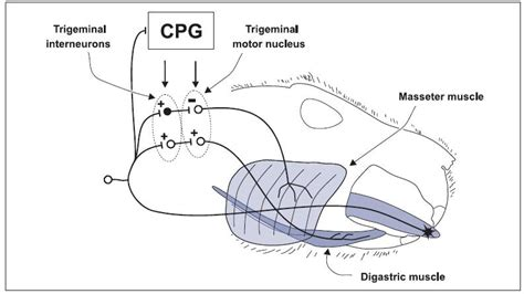 central pattern generator in swallowing 14 pain and motor reflexes pocket dentistry