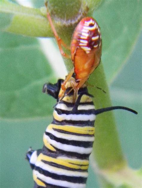 Caterpillar Predator monarch butterfly caterpillar predators ask an expert