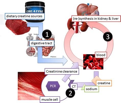 creatine to creatinine ask dr andro the pharmacokinetics of creatine part i ii