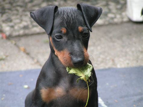 terrier show manchester terrier kennel corduroy s