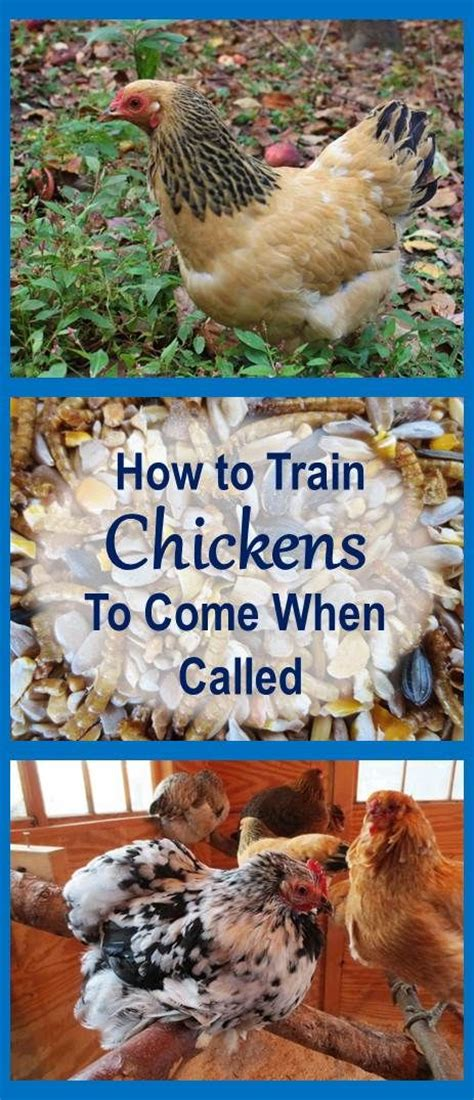 how to keep chickens in your backyard 1000 images about chicken and duck coops on chicken coop designs the chicken and