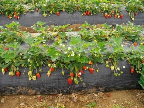 wie pflanze ich erdbeeren 4145 erdbeeren obstgew 228 chse