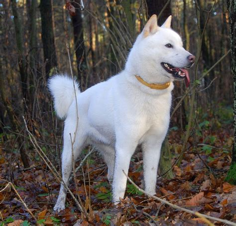 Hokkaido dog in the forest photo and wallpaper. Beautiful ...