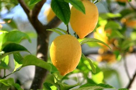 how much light does a lemon tree need how to trim your lemon tree flowers magazine