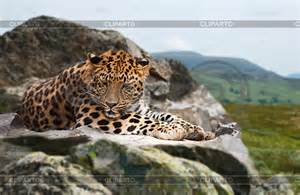 Jaguar Of Rock Jaguars Stock Photos And Vektor Eps Clipart Cliparto