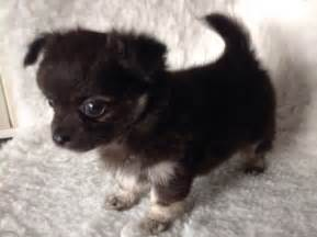 Puppies For Sale Chihuahua Puppy For Sale Gloucester Gloucestershire