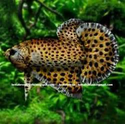 All about betta fish: Leopard betta fish (fake) designed