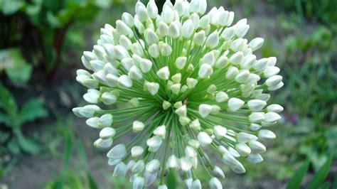 fiore bianco fiore bianco sfondi desktop gratis
