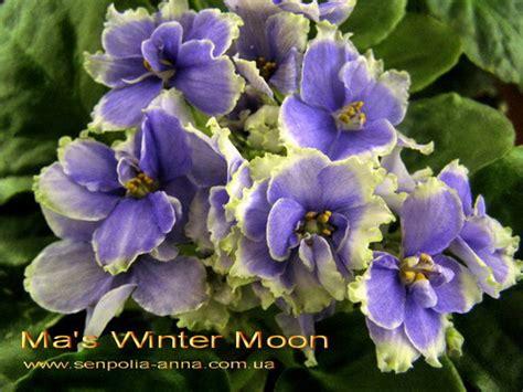 Фиалка winter moon фото