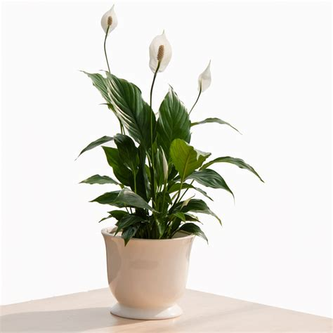 types of indoor plants potted peace lily indoor office plants by plant type