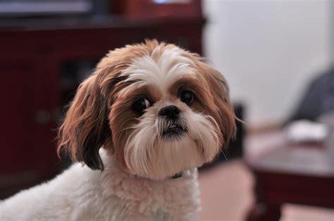 best top chions top 10 des races de chien de taille