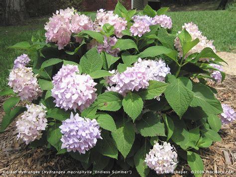 Hydrangea Macrophylla Endless Summer 4457 by Hydrangea Macrophylla