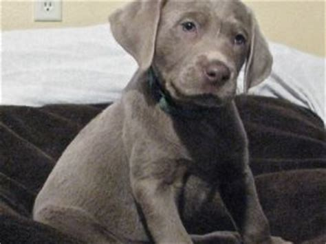 lab puppies for sale in des moines iowa labrador retriever puppies for sale silver labradors puppies in iowa akc