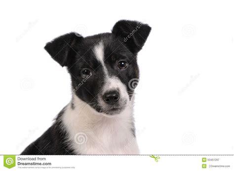 imagenes a blanco y negro de perros perro de perrito blanco y negro imagen de archivo imagen