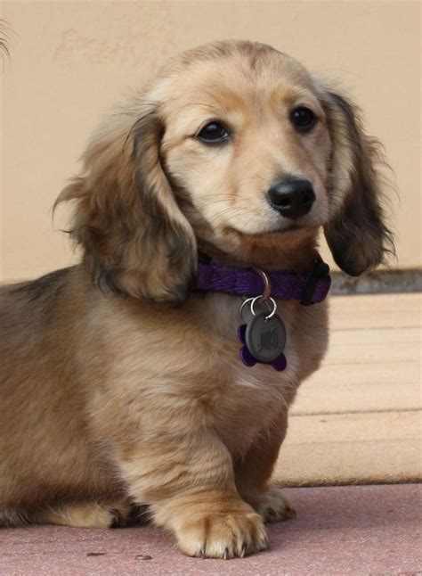haired dachshund puppies 1000 ideas about miniature dachshunds on