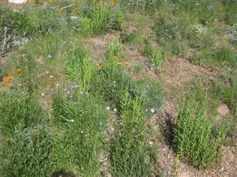 notes from the meadow user friendly deer resistant plant native california meadow in the second year sierra
