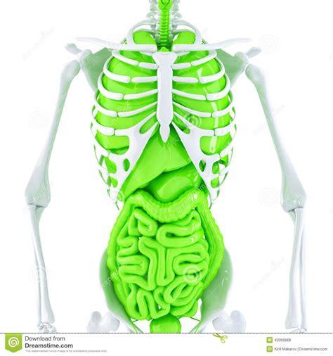 scheletro con organi interni illustrazione 3d dello scheletro umano e degli organi