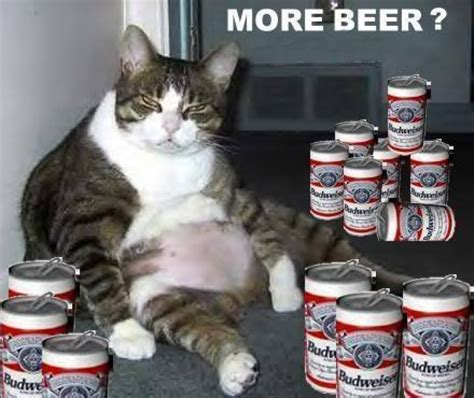beer funny fat cat drinking beer commentphotos